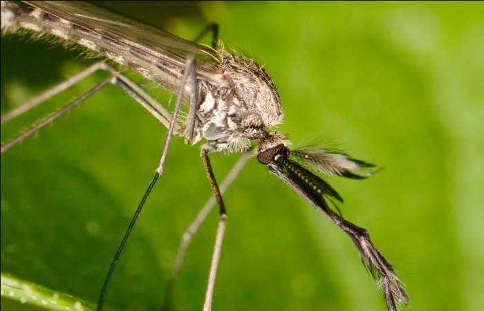Биологи измерили слух комаров
